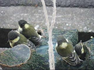 巣立ちの瞬間~シジュウカラ(四十雀)