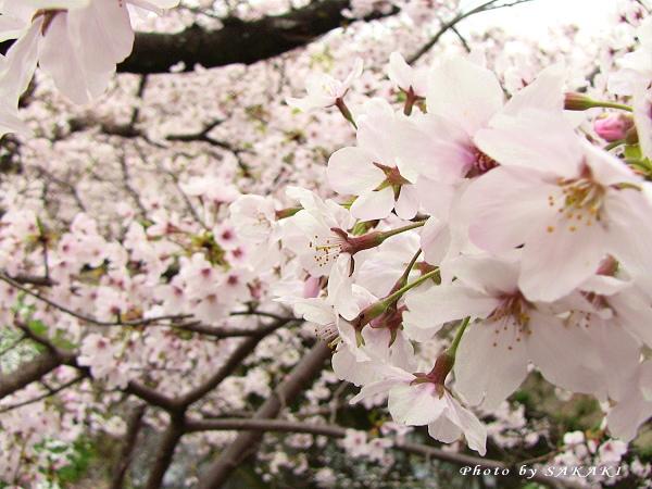 sakura20110408b.jpg