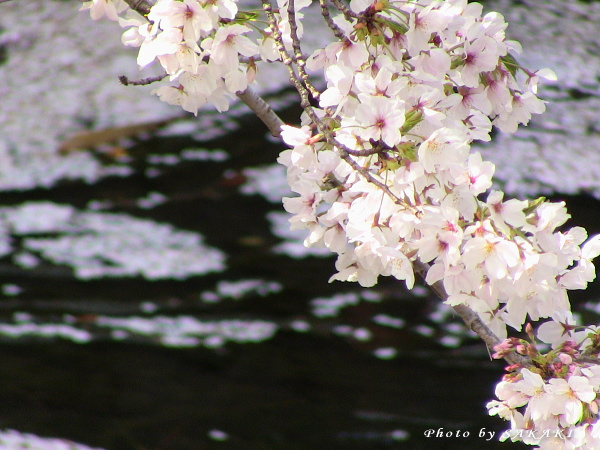 sakura20110411b.jpg