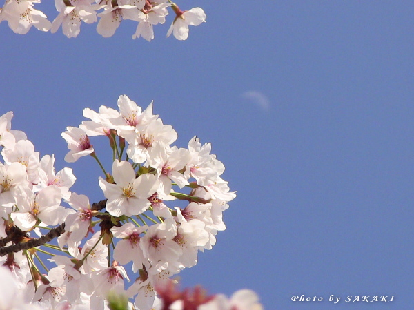 sakura20110411c.jpg