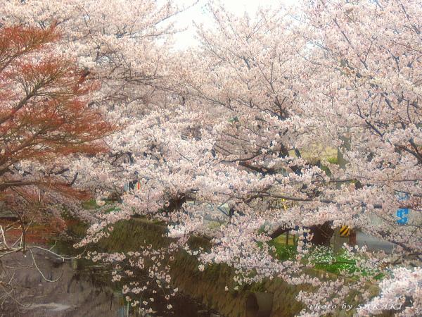 sakura_a1.jpg