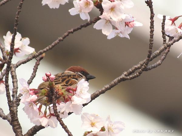 sakura_a11.jpg
