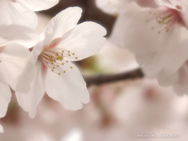 sakura_a3.jpg