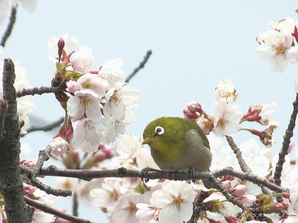 sakura_a5.jpg